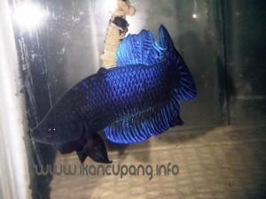 www.ikancupang.info