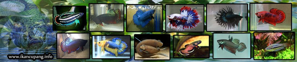 INFORMASI TENTANG IKAN CUPANG - Informasi Toko Ikan Cupang dan Cara Budidaya Ternak Ikan Cupang