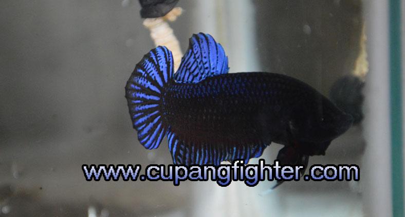www.cupangfighter.com
